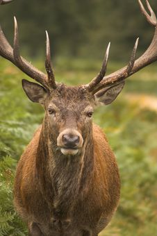 Male Deer Stock Photography