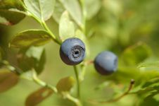Free Blueberry Stock Photography - 6298122