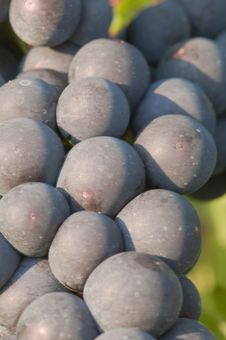 Free Grapes Stock Photo - 6298550