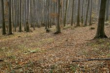 Free Autumn Beech Forest Stock Image - 6298721