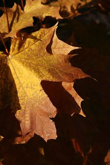 Free Autumn, Maple Leaves Stock Photography - 6298912