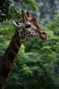 Free Giraffe Royalty Free Stock Photos - 6299038