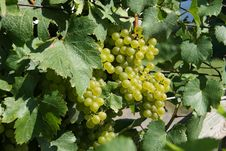 Free Wine Grapes Stock Image - 6299441