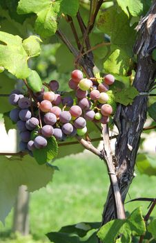 Free Wine Grapes Royalty Free Stock Images - 6299489