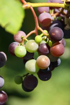 Free Wine Grapes Stock Photo - 6299530