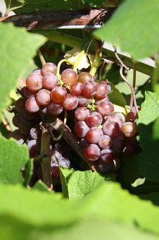 Free Wine Grapes Stock Image - 6299551