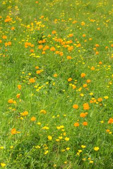 Free Globe-flowers Field Stock Image - 6299651
