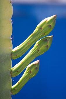 Free Cactus Royalty Free Stock Photo - 630055