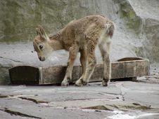 Free Baby Siberian Ibex Stock Images - 630284
