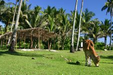 Free Cow Grazing In Tropical Pasture Stock Photo - 630450
