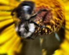 Free Busy Bee Royalty Free Stock Photography - 630537