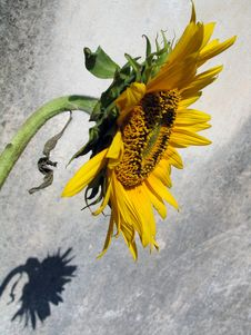 Free Sunflower And Shadow Stock Photo - 630810
