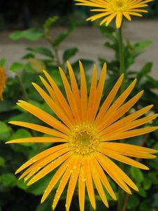 Free Close-up Of Orange Daisy Stock Photos - 631293