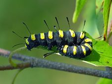 Free Caterpillar Of Butterfly Apatele Alni. Royalty Free Stock Photo - 631365