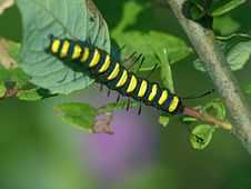Free Caterpillar Of Butterfly Apatele Alni. Royalty Free Stock Photography - 631367