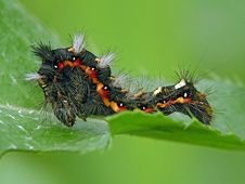 Free Caterpillar Of Butterfly Apatele Rumicis. Stock Image - 631371