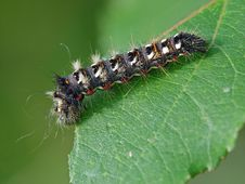 Free Caterpillar Of Butterfly Apatele Rumicis. Royalty Free Stock Photography - 631597
