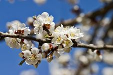 Free Bloomed Tree Royalty Free Stock Image - 631696