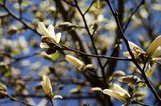 Free White Magnolia Royalty Free Stock Photography - 631707