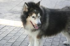Free Husky Stock Photography - 631752
