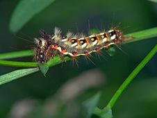 Free Caterpillar Of Butterfly Apatele Rumicis. Stock Photography - 631912