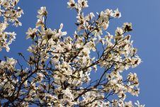 Free White Magnolia Bloom Royalty Free Stock Photography - 631987