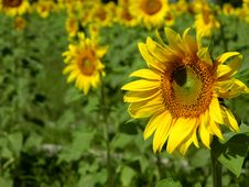 Free Sunflowers Royalty Free Stock Photo - 632285