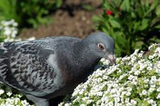 Free Pigeon Eating Royalty Free Stock Photo - 632735