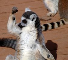 Free I M Strong,ring Tailed Lemur Stock Photos - 632793