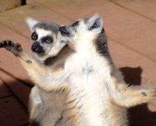 Free Two Ring Tailed Lemur Stock Images - 632794