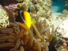 Free Clown Fish Stock Image - 633351