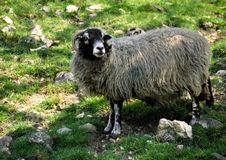 Free Sheep Royalty Free Stock Photos - 634728
