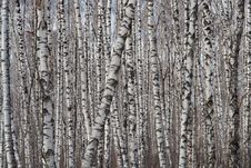 Free The Schedule Of Birches. Royalty Free Stock Image - 635186