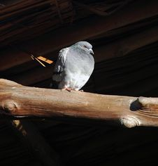 Free Pigeon Royalty Free Stock Photography - 635367