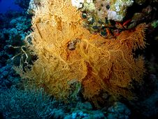 Free Sea Fan Stock Photos - 635403