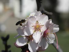 Free Spring Blossoms With Bee Stock Images - 635574