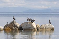 Free Cormorants Stock Photography - 635982