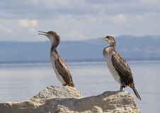 Cormorants Royalty Free Stock Photos