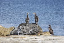 Free Cormorants Royalty Free Stock Photo - 636025