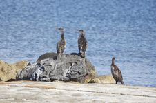 Free Cormorants Royalty Free Stock Image - 636026