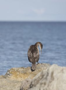 Free Cormorant Royalty Free Stock Photos - 636128