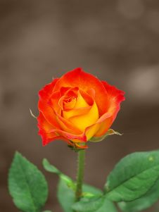Free Beautiful Rose Stock Photography - 636312