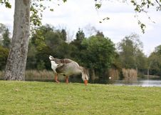 Free Goose Stock Photography - 636812
