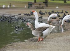 2 Geese Drinking Royalty Free Stock Photo