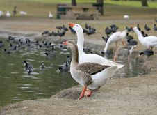 Free 2 Geese Drinking Royalty Free Stock Image - 636876