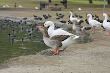 2 Geese Drinking Royalty Free Stock Photography