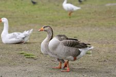Free Geese Royalty Free Stock Photos - 636878