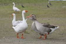 Embdens & Geese Stock Photo