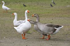 Embdens & Geese Stock Image