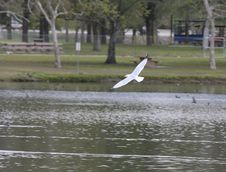 Ring-billed Gull Royalty Free Stock Photo